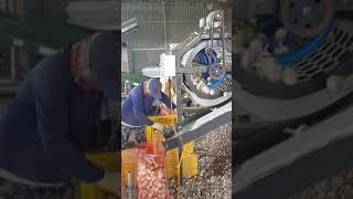 마늘선별작업