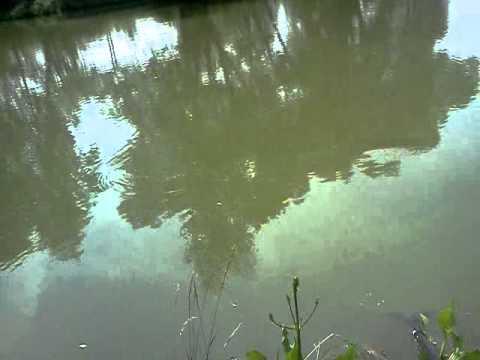 ловля толстолобика летом на пруду