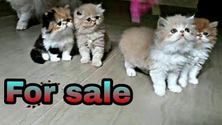 Best Persian cat breeder found at alappuzha kerala owner of 50 Persian cat  (Bird eye)