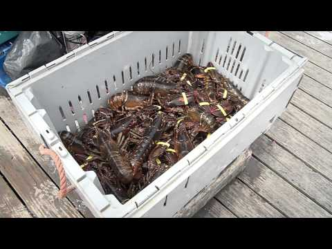 Maine lobsters are catching on in China
