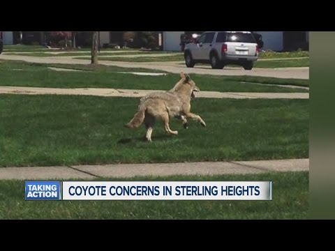 Coyote concerns in Sterling Heights