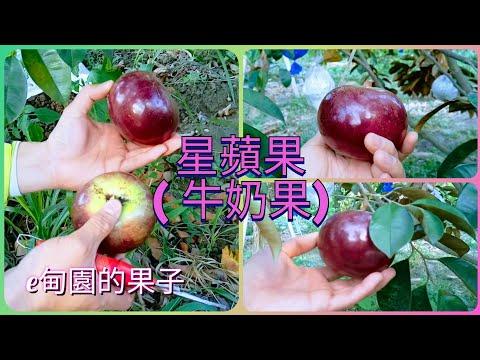 紅毛丹種植方法影片 1 | Doovi
