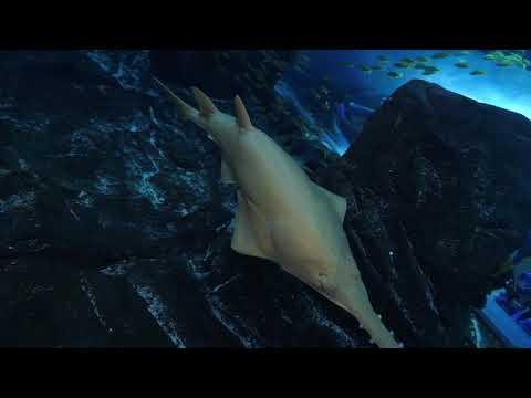 Celebrate Sawfish