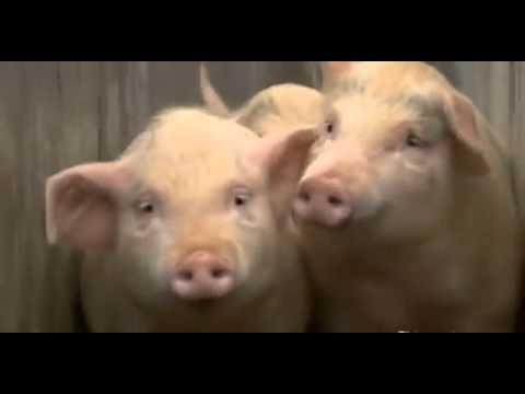 Lạ lùng cho lợn nhảy cầu 3m để giảm eo