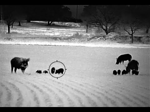 DANGER CLOSE – Sows and Piglets In Open Field. 8 Hogs Down