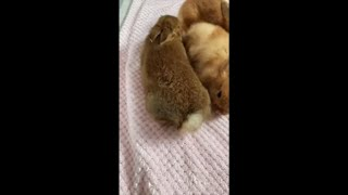 Adorable Rabbit Disapproves Owner Touching Its Tail
