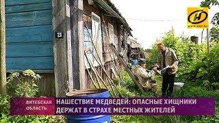 Нашествие медведей в Витебской области: хищники держат в страхе местных жителей