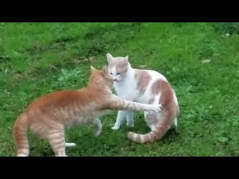 Cats Fighting Compilation