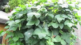 How To Grow Runner Beans - Planting Runner Beans
