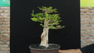 Bonsai Sancang Premna Microphyla formal double trunk