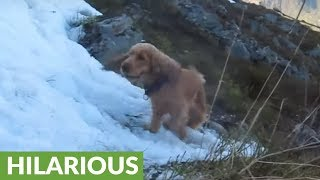 Snow-loving dog repeatedly slides down slope
