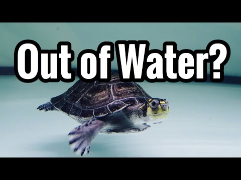 How Long Aquatic Turtles Be Out Or Water?