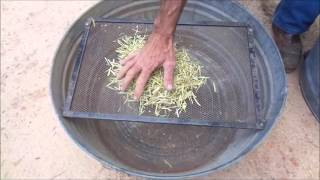 How to Save  Mustard or Tendergreen Seeds