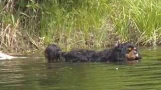 Cavalier King Charles Spaniel Hunts Ducks