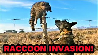100% NATURAL WAY to Control Invasive Raccoons.