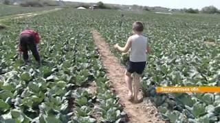 На Закарпатье уже собирают первые урожаи капусты