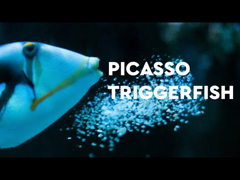 Picasso Triggerfish - Fish Facts