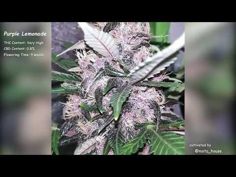 Purple Lemonade Auto//Fast Buds Seeds//Grow Compilation