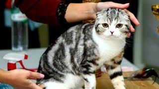 Шотландская Вислоухая Кошка КРАСАВИЦА - ВЫСТАВКА | ПОРОДЫ КОШЕК