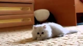 Персидские серебристые шиншиллы, котята