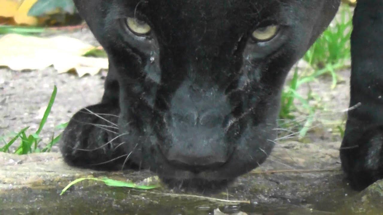 Pantera Animal Wallpaper Black Jaguar Close Up Drinking Schwarzer Jaguar Trinkt