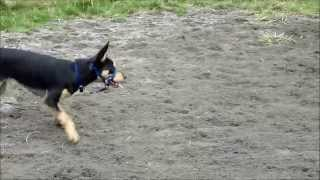 Kelpie Training At Herding Dog Training Melbourne
