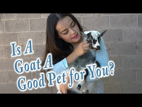 Goats As Pets | Everything you need to know to get a goat