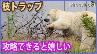 どや顔を見せてから食べ始めるホッキョクグマ【リラ】屋外給餌再開 Polar Bears Life