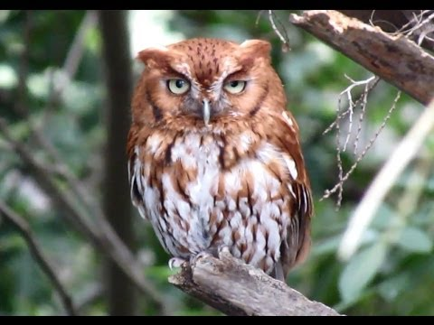 Image result for eastern screech owl cry