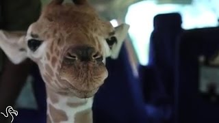 Orphaned Giraffe Gets Carried To His New Home