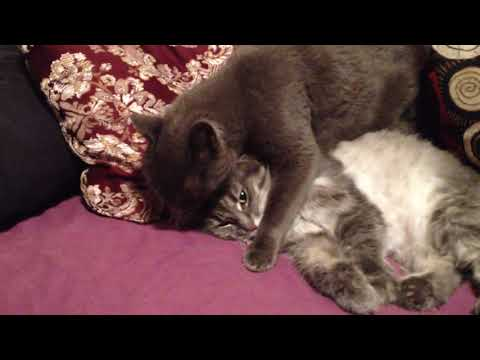 Russian Blue showing affection for another cat