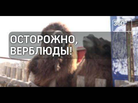 Осторожно, верблюды!