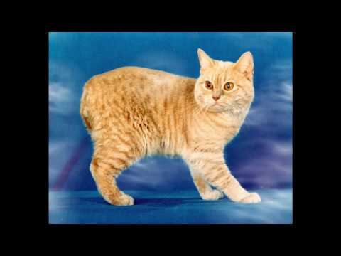 Manx Cat and Kittens | History of This Charming Breed