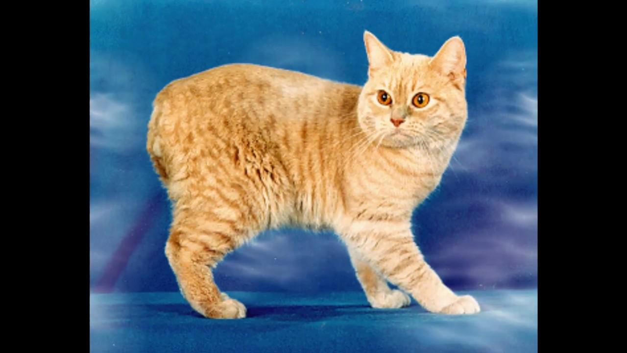 Manx Cat — Full Profile, History, and Care  |Manx Cat History