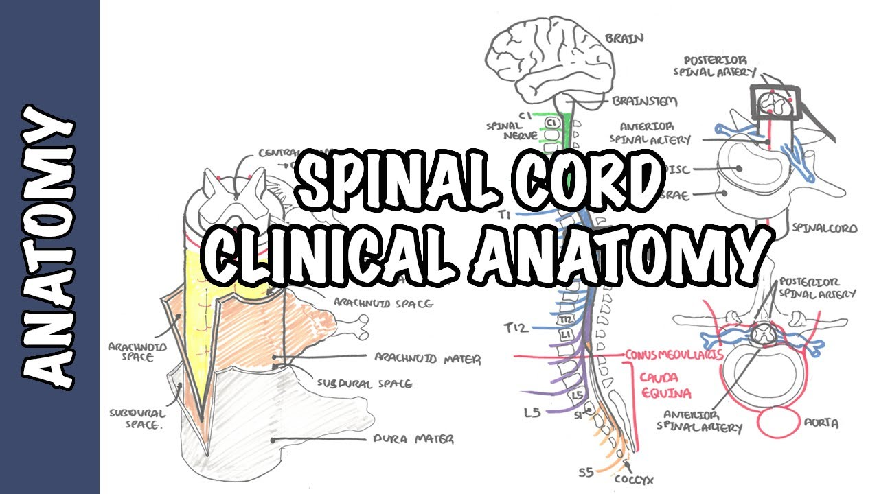 lumbar puncture diagram porsche 911 radio wiring spinal cord clinical anatomy and physiology dermatomes blood supply shingles