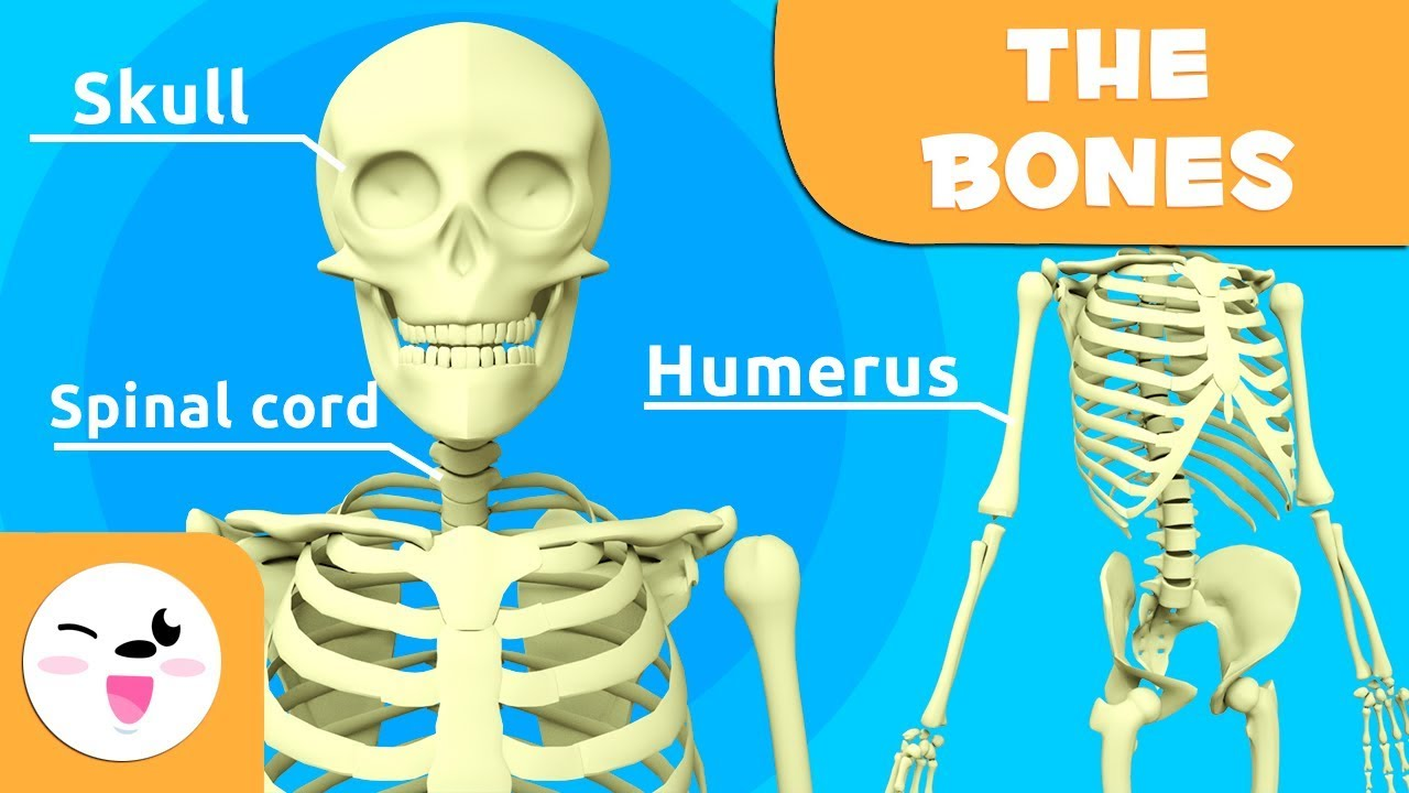 The Skeletal System Educational Video About Bones For Kids Youtube