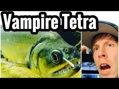 Aquarium Payara Fish - Vampire Tetra Tank Care