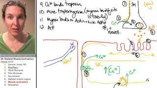 Skeletal Muscle 7- Contraction