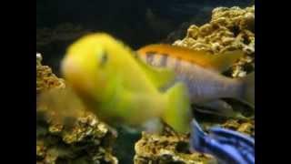 Болезнь рыбы-водянка