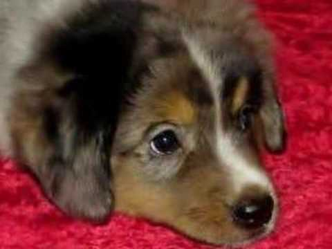 Miniature & Toy Australian Shepherd Dogs Puppies  Mind Movie