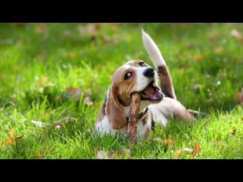 Beagle Information