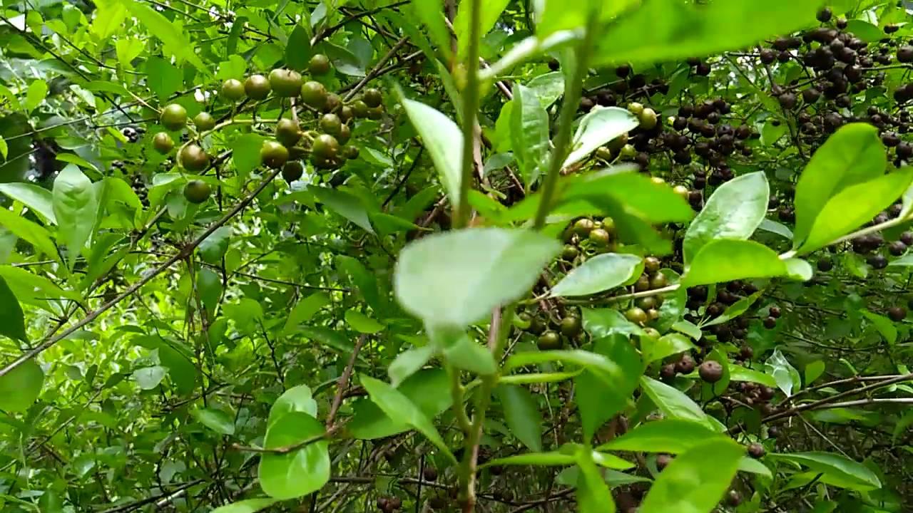 Gorintaku Lawsonia Inermis Henna Plant Youtube
