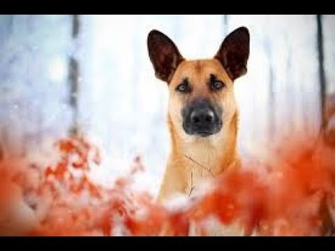 Belgian malinois top active breed