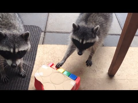 "Raccoon Tricks - Playing the Piano ""Coonie Tunes"" - Part 1"