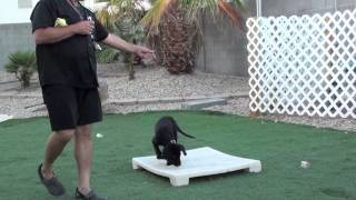Remote Collar Conditioning Labrador Retriever  (part 1)