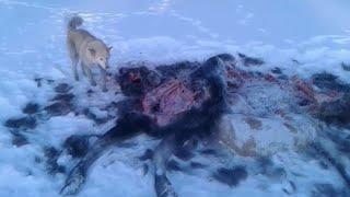 Волки съели лося!Стая волков задавила сохатого на реке Гуджал.
