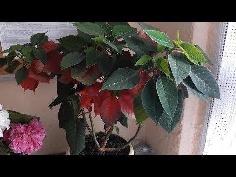 Что будет с ПУАНСЕТТИЕЙ, если её после цветения НЕ  ОБРЕЗАТЬ?