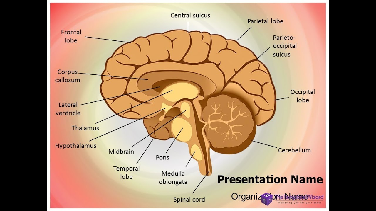 Human Brain Nervous System PowerPoint Template - TheTemplateWizard ...