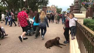 Best Dog Training Video - Disney Adventures - 3yo Chocolate Lab Sophie - OLK9 Sarasota