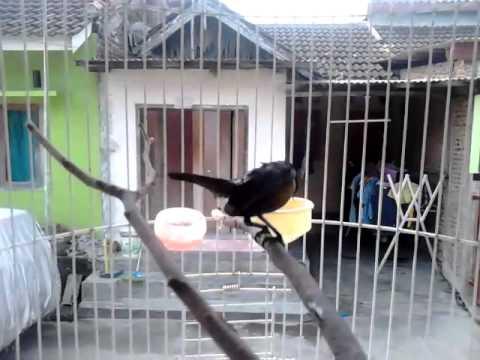 Kolibri ninja gaya ngobra